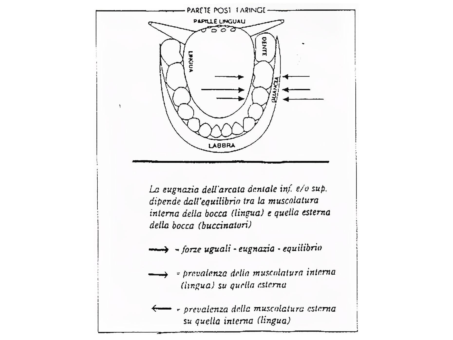 disegno che mostra l'eugnazia della struttura dentale