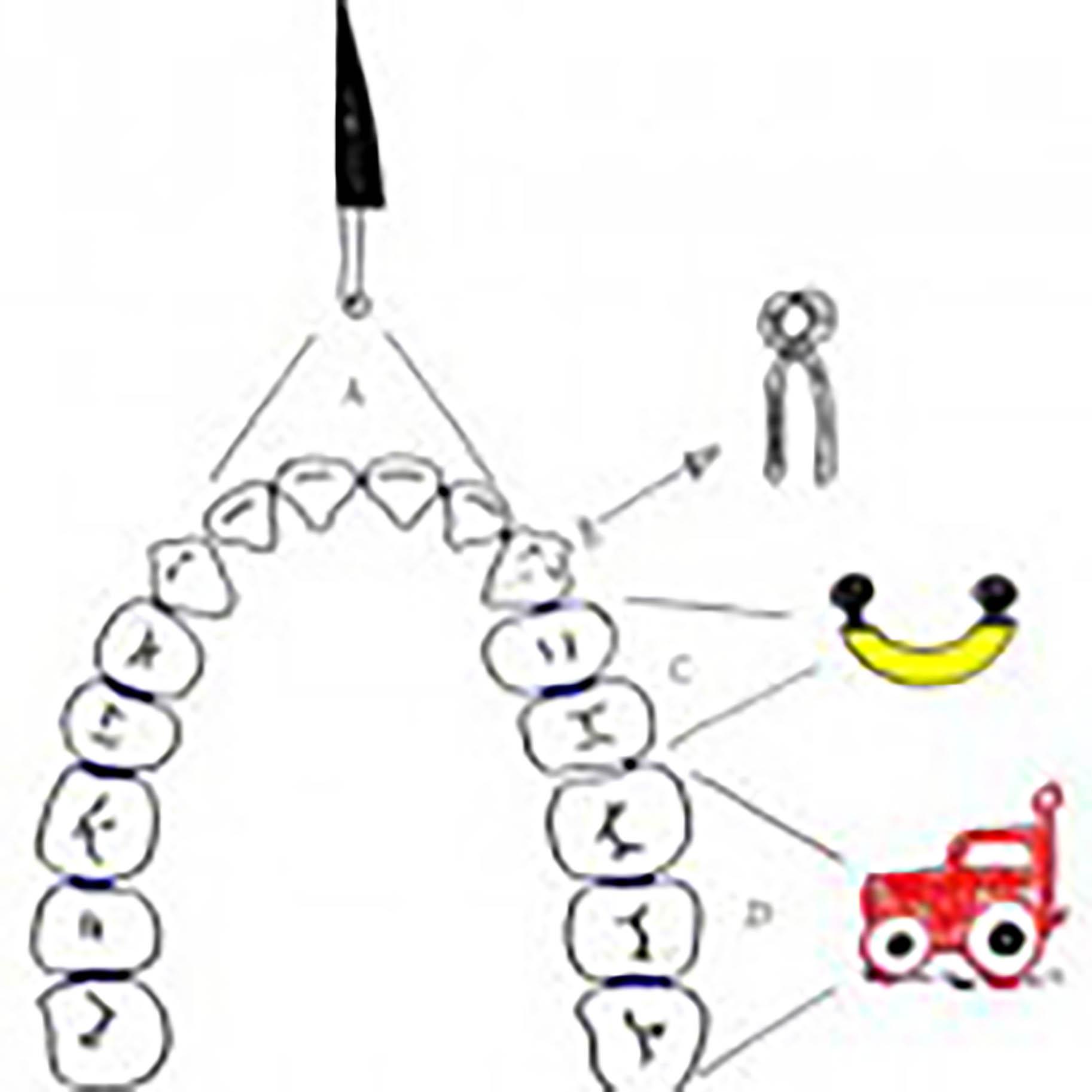 immagine mostra la funzione dei diversi denti