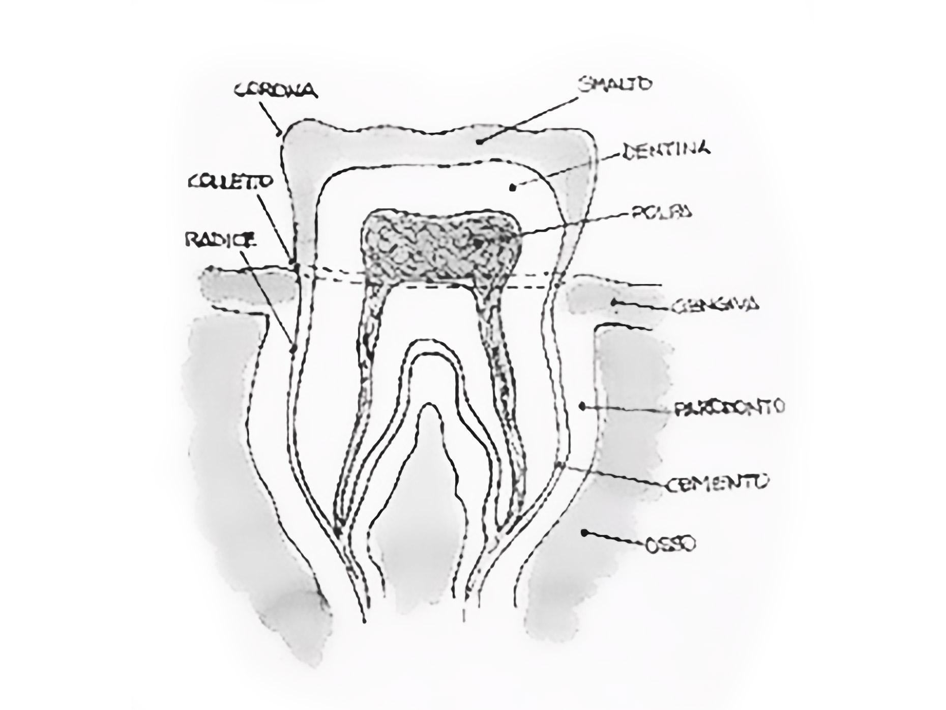 composizione del dente