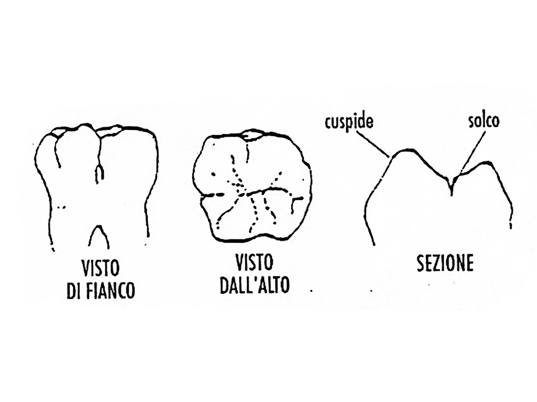immagina della struttura dentale laterale e dall'alto
